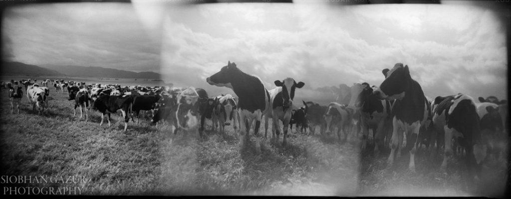 California Cows | Creative Photography