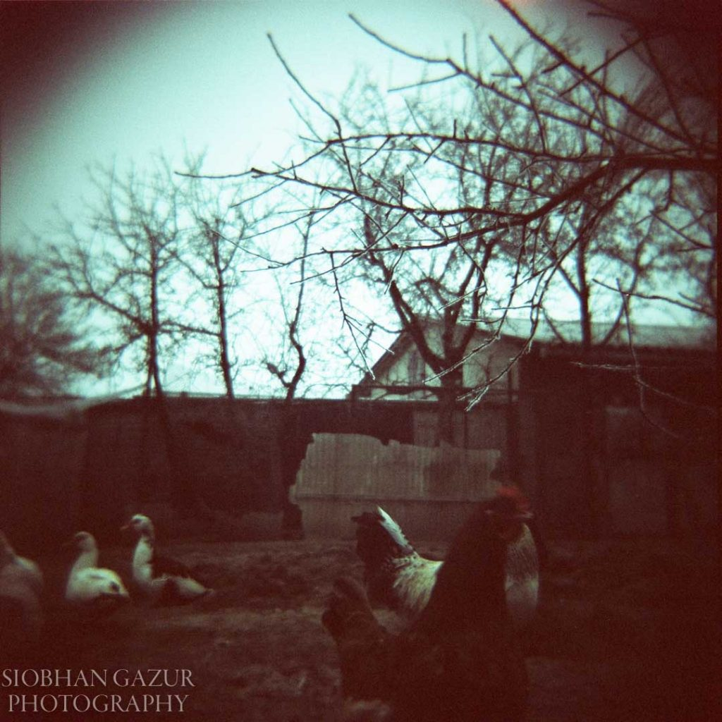 Chickens in the Backyard | Travel Photography