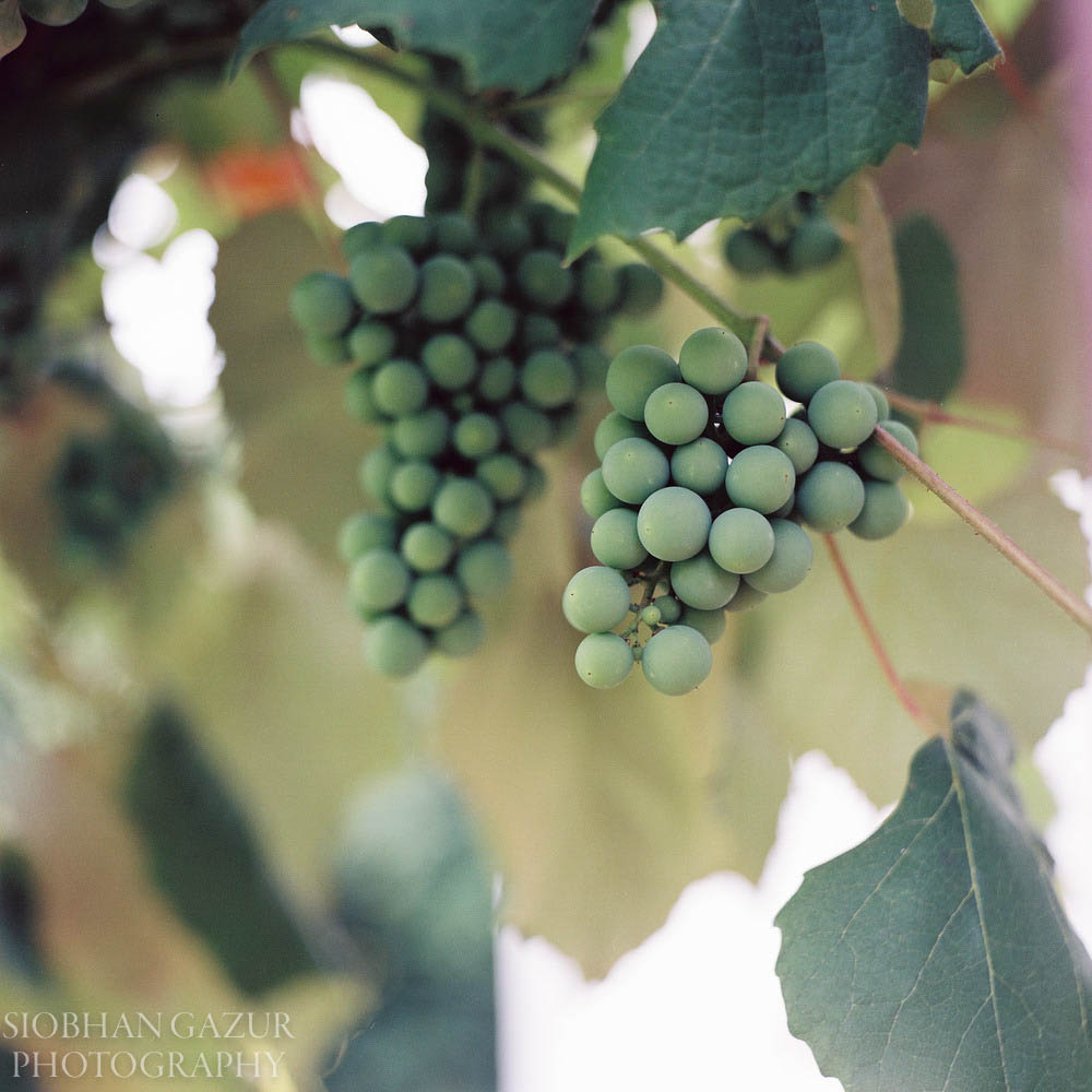 Cluster of Grapes | Travel Photography