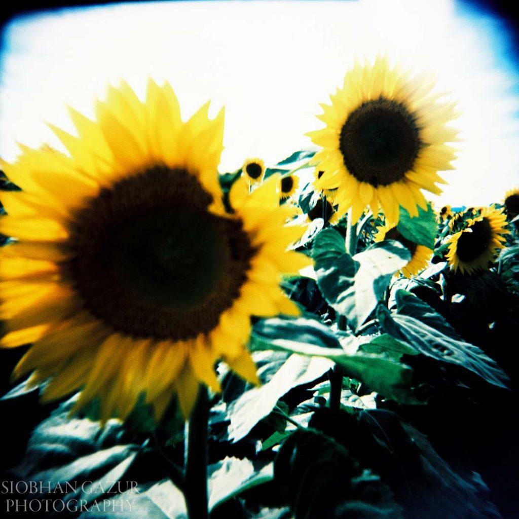Sunflowers | Creative Photography