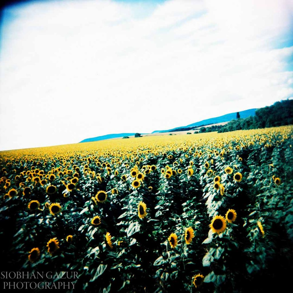 Sunflowers Forever | Creative Photography